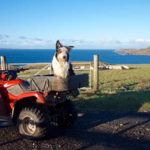 Treshnish-sheepdog-Mull