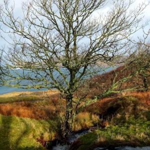 mull-treshnish-tree