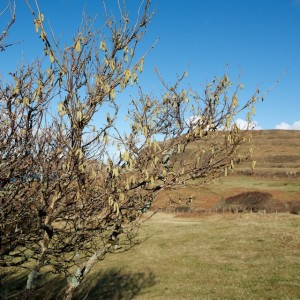 Mull_Atlantic_hazel
