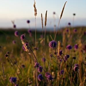 August Mull sunset scabious