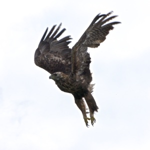Golden eagles on Mull Treshnish