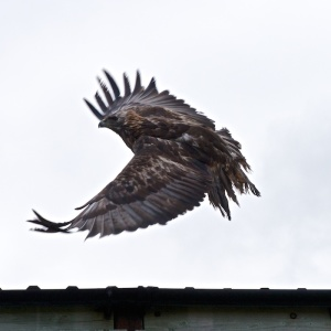 golden eagles on Mull