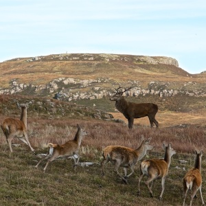 Mull red deer stalking