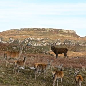red deer stalking Treshnish
