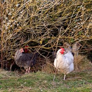 foodie Christmas Mull hens