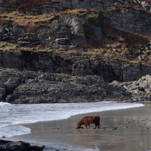 Cow beach Kilvickeon Mull
