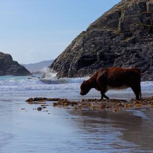 Kilvickeon Mull cows beach