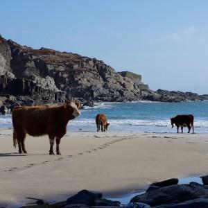 Kilvickeon cows beach Mull