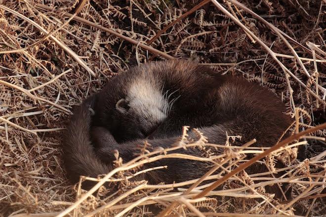 Sleeping Otter Mull Anand Prasad