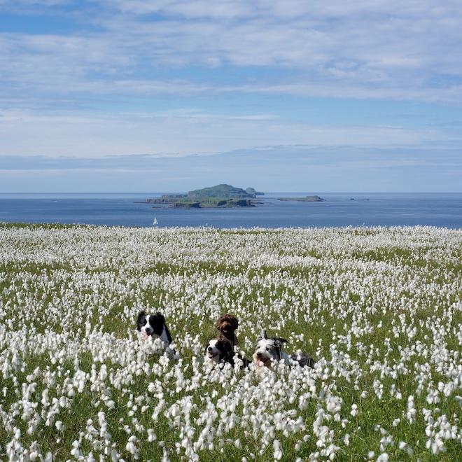 30DaysWild bog cotton Treshnish Isles