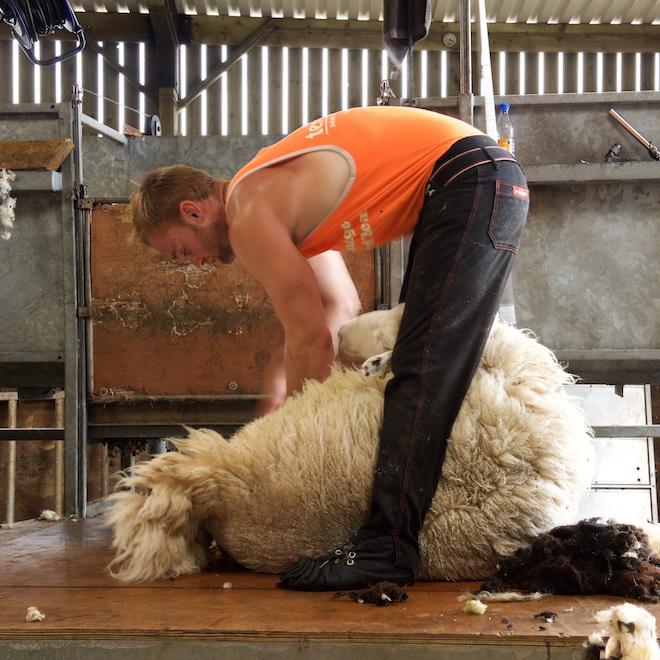 E sheep shearing Mull cottages Treshnish