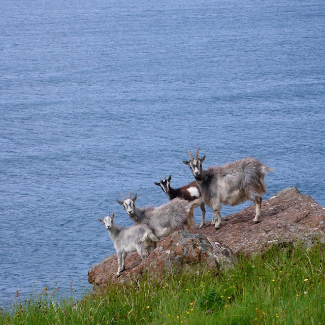 Fossilised tree Mull goats