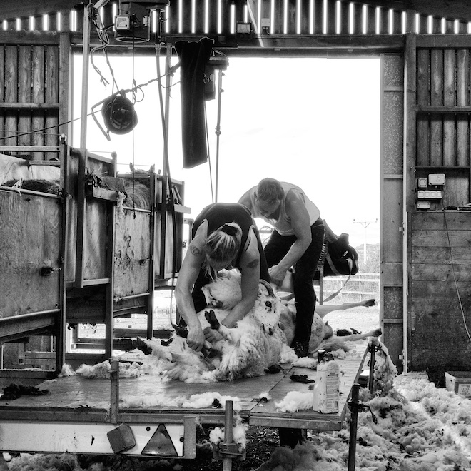 Sheep shearing - Treshnish Holiday Cottages