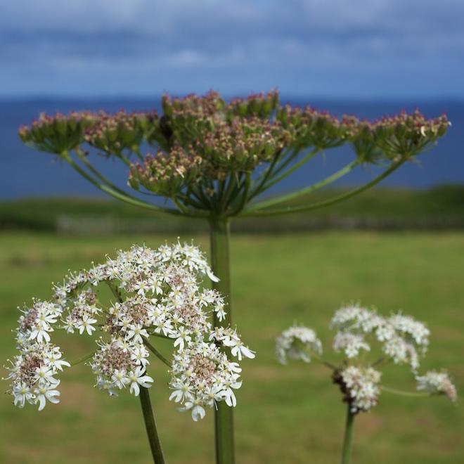 Mull Treshnish summer holidays hogweed