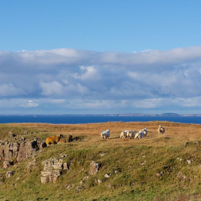 storm-angus-treshnish-mull-cottages-tups-ewes