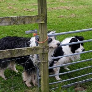 Walter & Cap watch the lambs