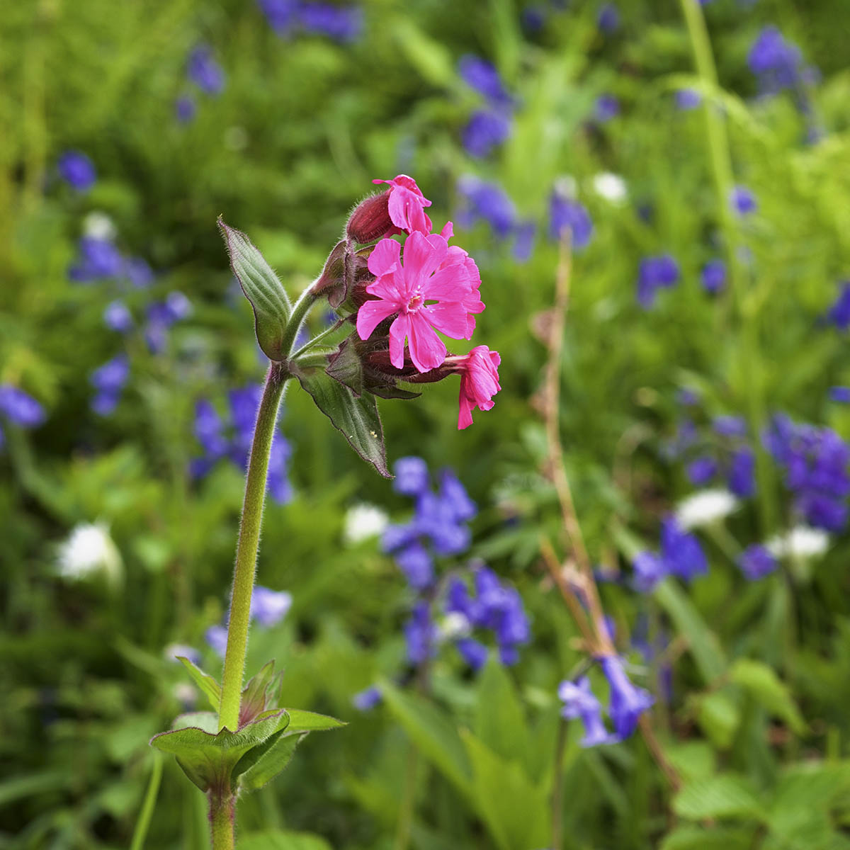 Treshnish, Mull, self-catering cottages, red campion