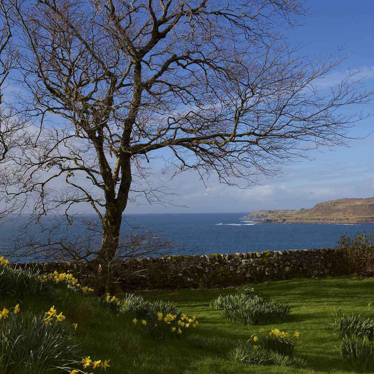 Treshnish, Mull, self-catering, daffodils in March