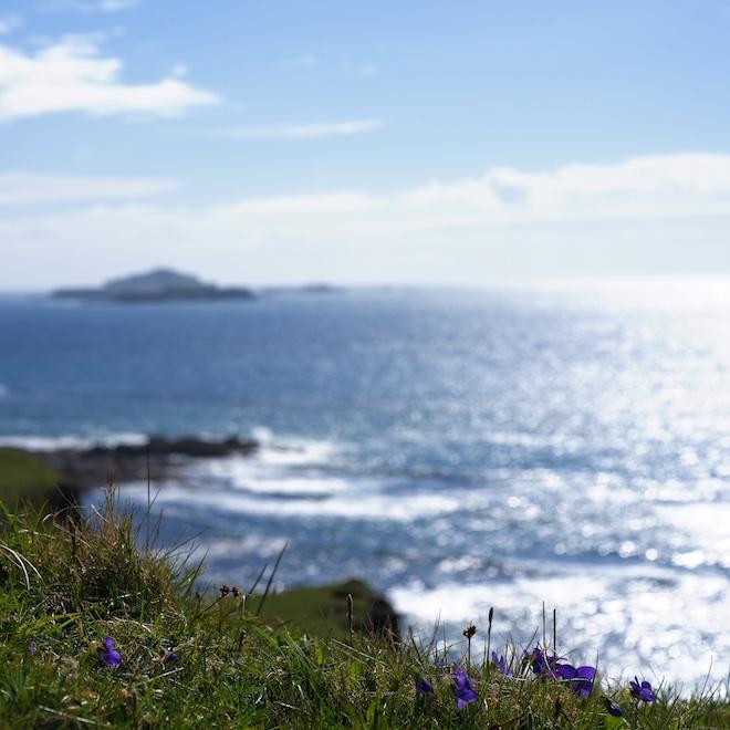 Dog violet Treshnish Mull Cottages Treshnish Isles
