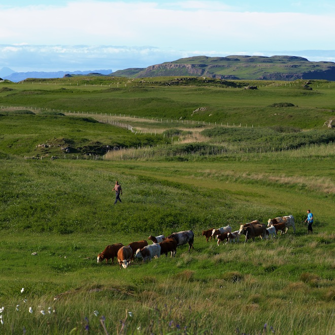 National Meadows Day 2017 cows Treshnish Mull cottages