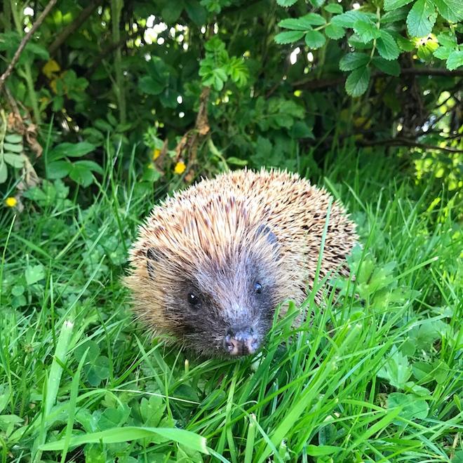 Hedgehog Treshnish Cottages Mull