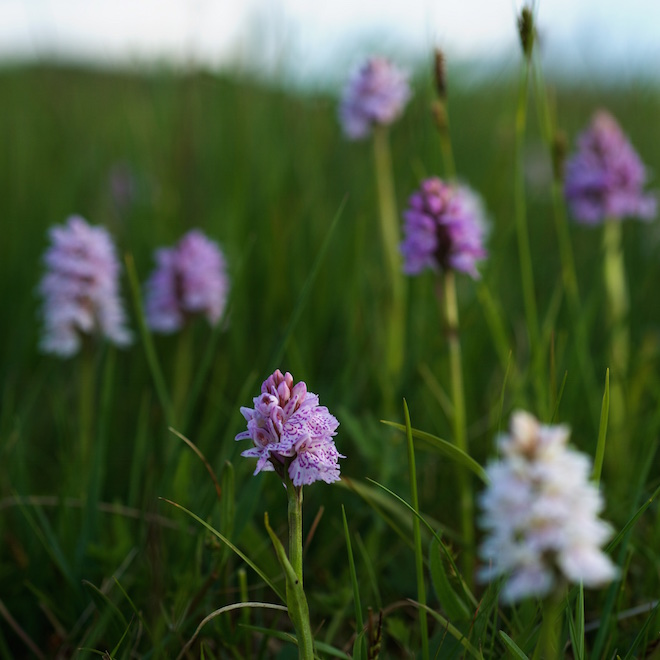 land based wildlife trips on mull heath spotted orchids Treshnish