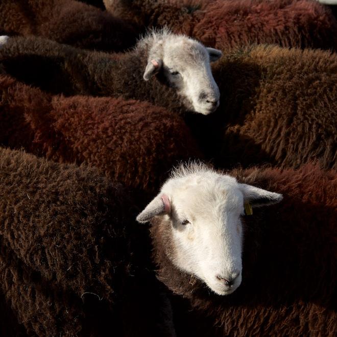 Treshnish Mull Herdwicks ewe hoggs