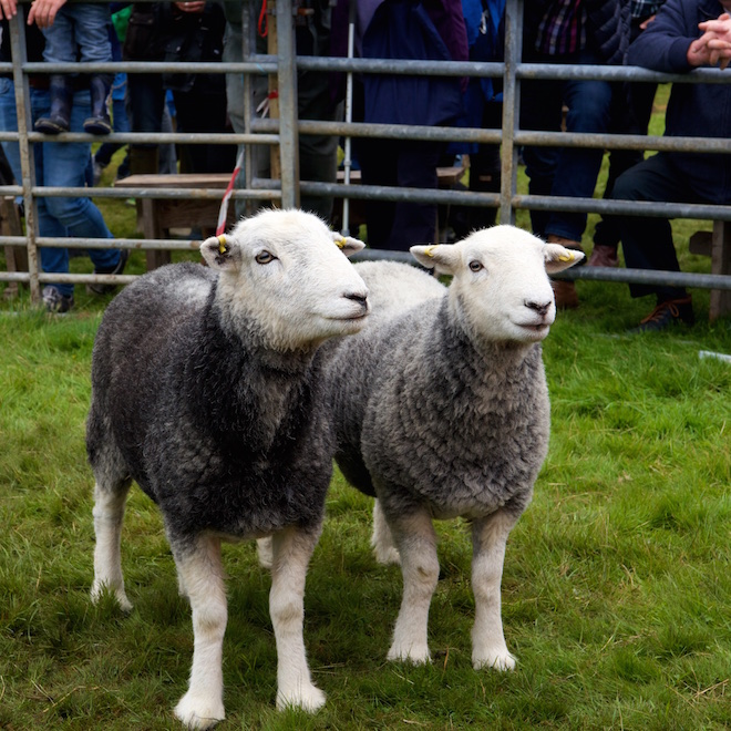 Mull agricultural shows Herdwicks Treshnish