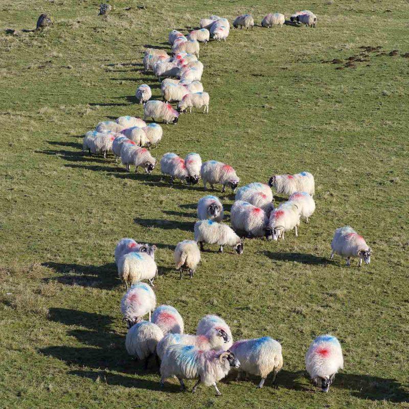 Sheep farming on Mull