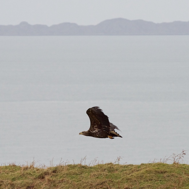 Treshnish Mull cottages white tailed eagle early sighting