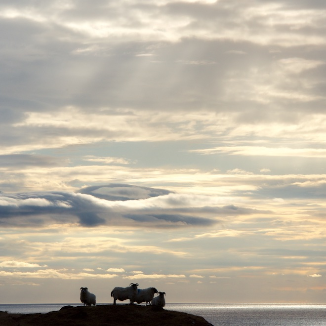 News from Treshnish Mull Cottages sheep sunset