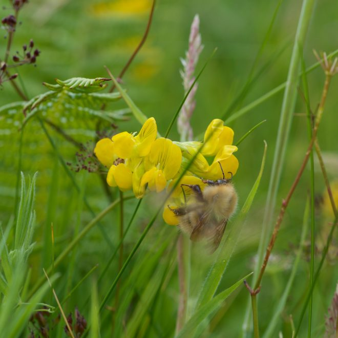 Isle of Mull Treshnish wildlife friendly cottages horseshow vetch bee
