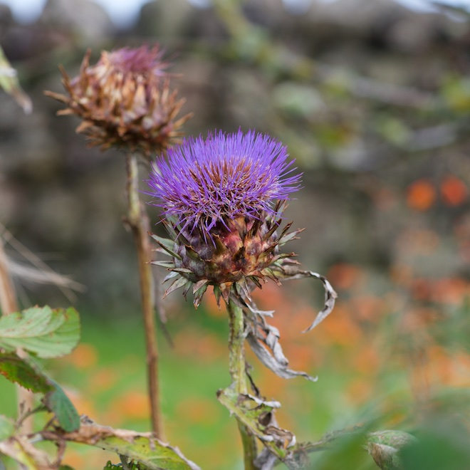 Cardoon winter comes early Treshnish Cottages Mull