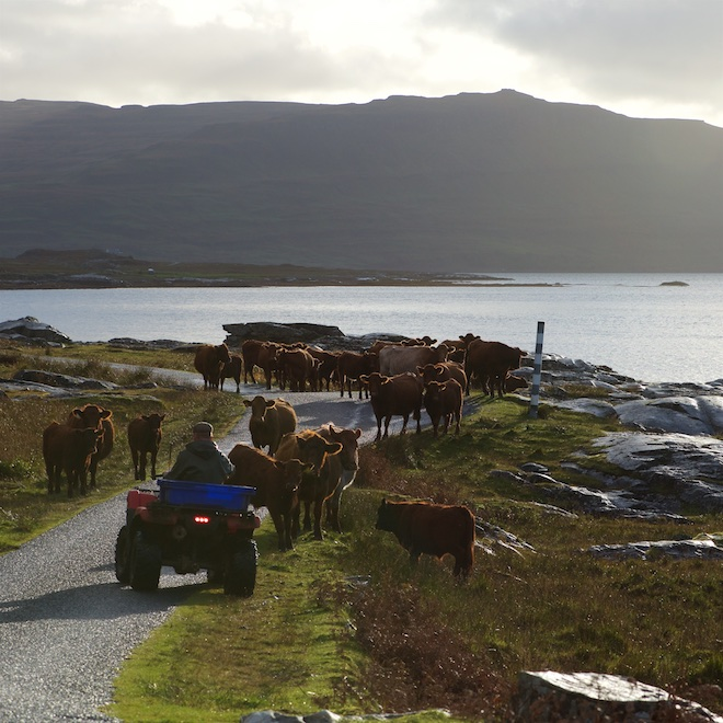Treshnish Mull Ninth Wave cows on road