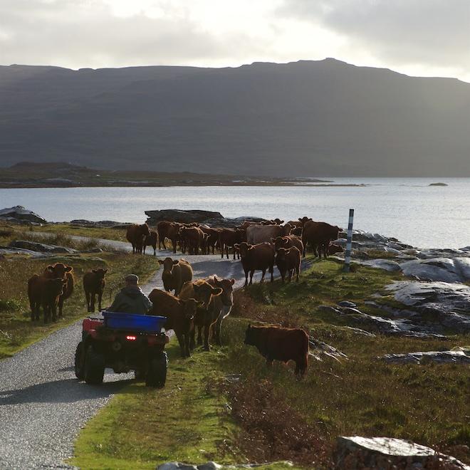 Treshnish Mull Ninth Wave cows on road