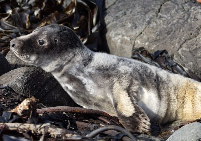 Treshnish-treasures-Mull-cottages-seal