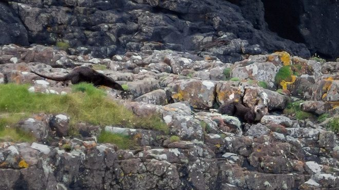 Treshnish-treasures-otters-Mull-cottages