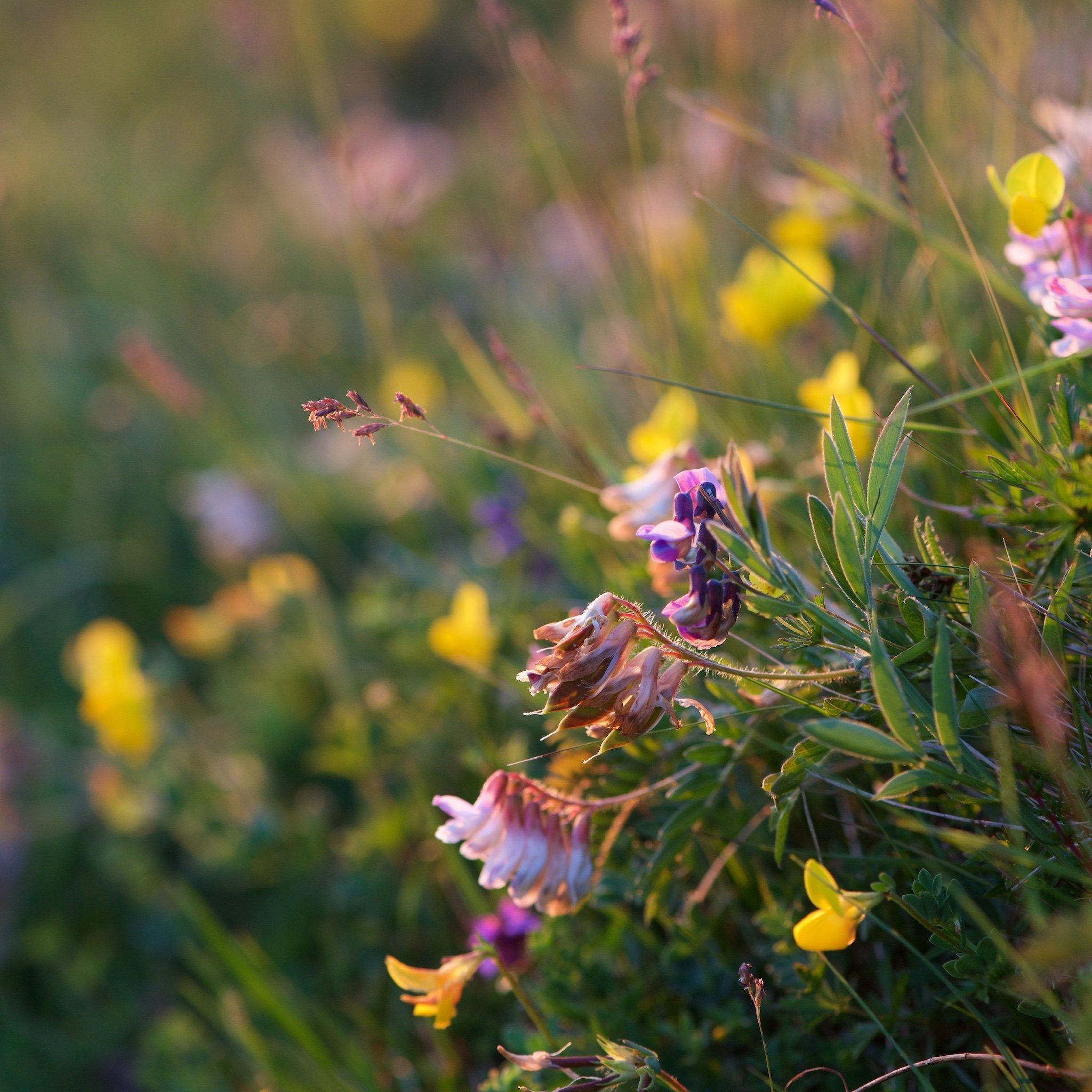 Moveable Feast Wildflower Walk Treshnish Mull vicia orobus