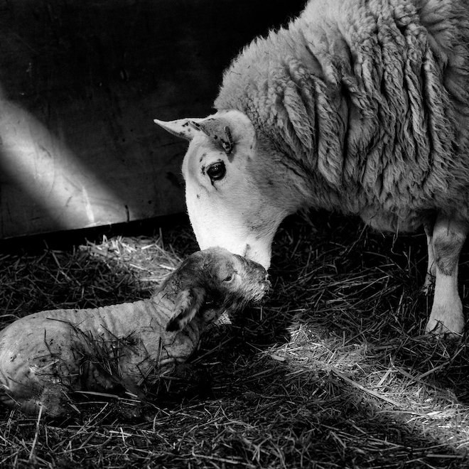 Lambing time on Mull newborn Treshnish Cottages lamb