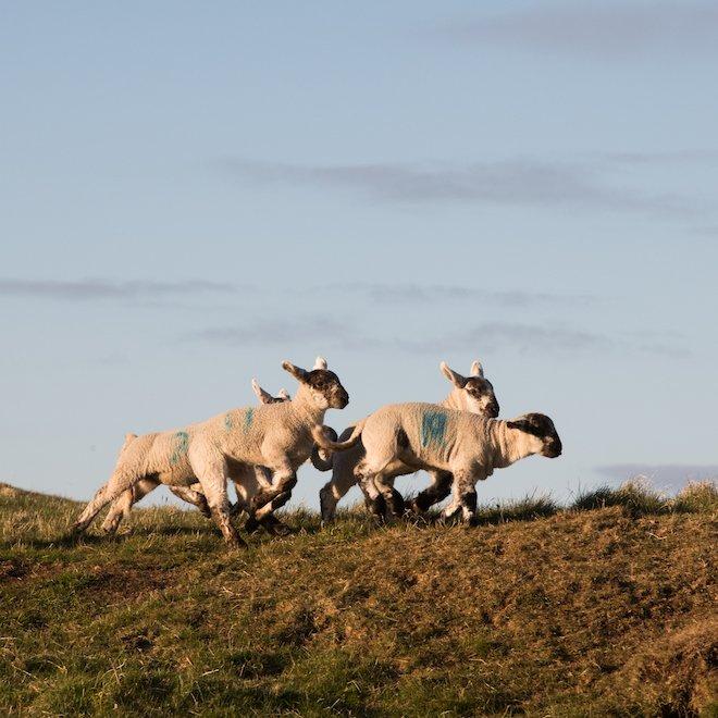 Playful lambs Mull Treshnish Farm