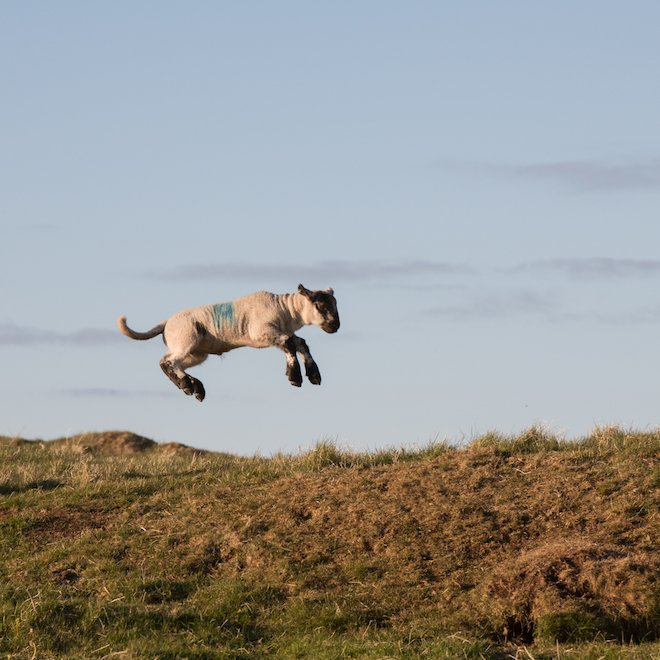 Playful lambs Treshnish Farm Mull