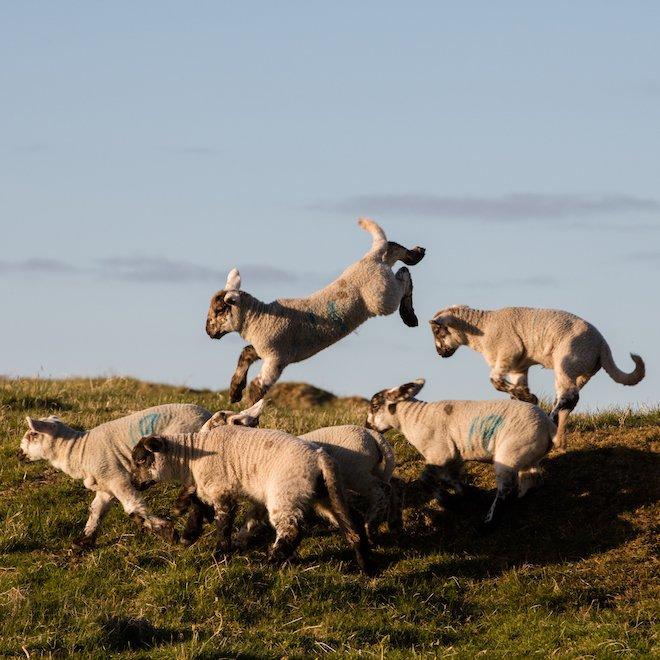 Treshnish Farm playful lambs Mull