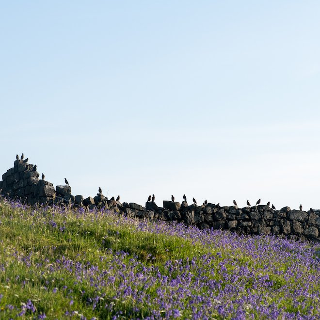 Bluebells Starlings Haunn cottages Treshnish Mull