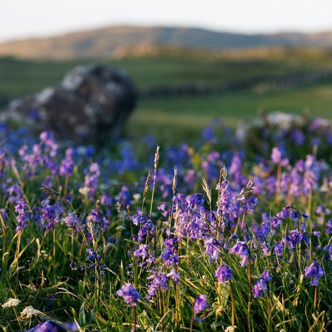 Bluebells Treshnish Coronation Meadow Mull