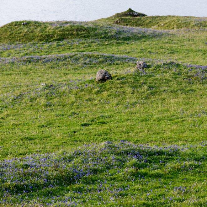 Bluebells at Treshnish Mull May