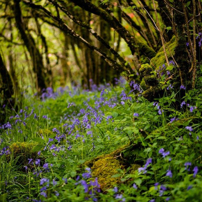 Bluebells at Treshnish Woodland Mull