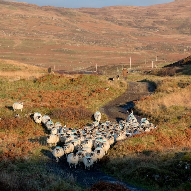 Blackface sheep farming New Year Mull