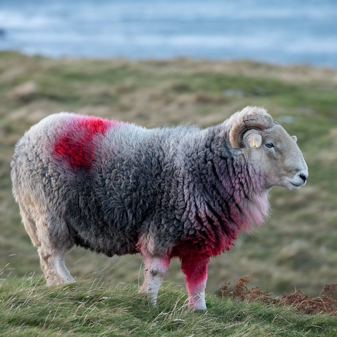 Herdwick tup Mull sheep farming new year