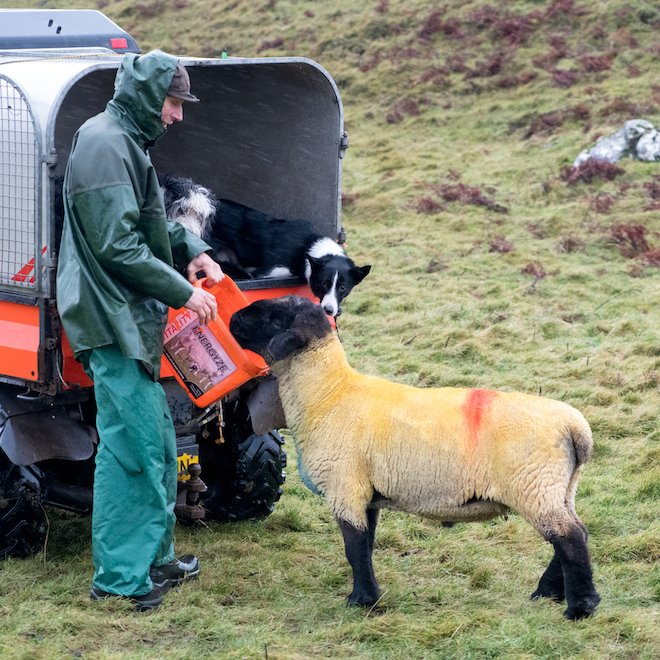 Sheep farming New Year Suffolk tup Mull