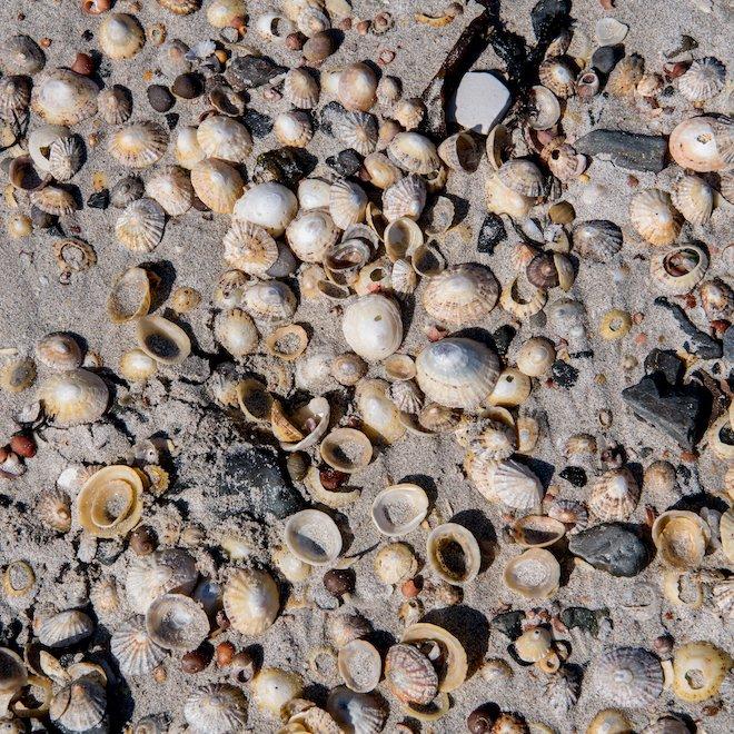 cockle shells special day iona treshnish